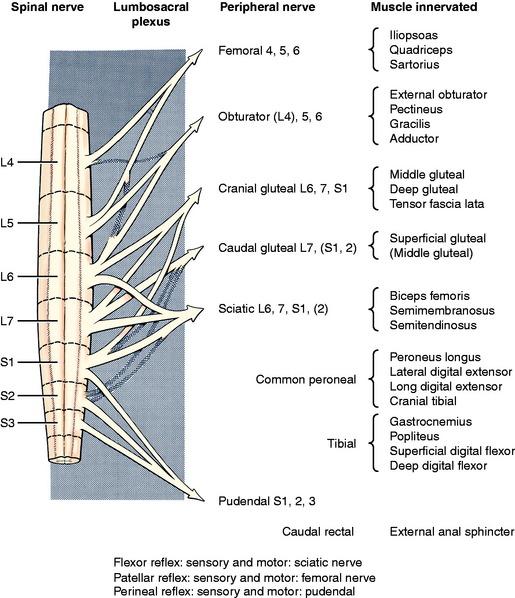 Lower Motor Neuron Spinal Nerve General Somatic Efferent System