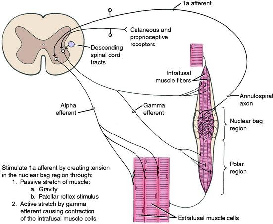 Upper Motor Neuron | Veterian Key