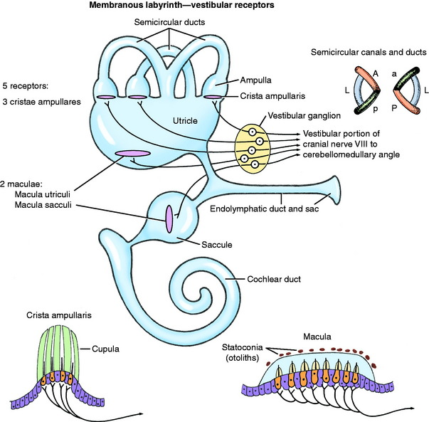 vestibular system special proprioception veterian key