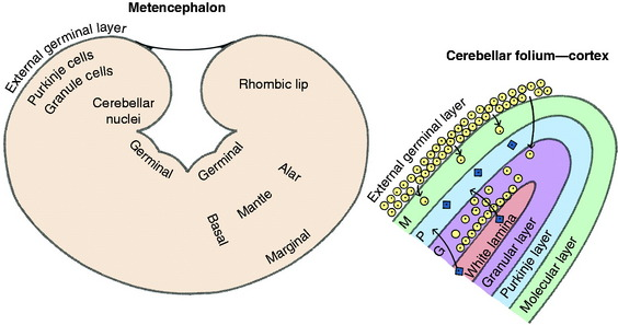 Cerebellum   Veterian Key