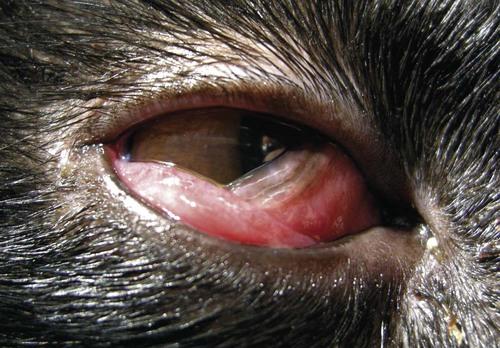 Ocular Infections Veterian Key