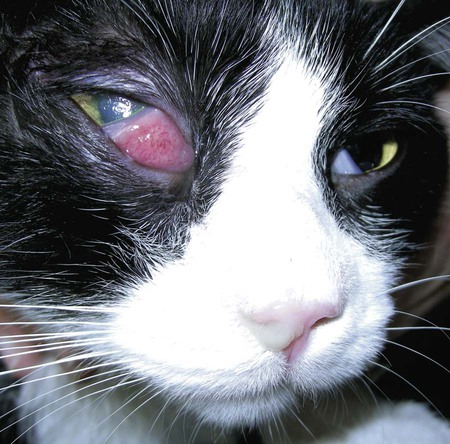 Bacterial Eye Infection In Cats