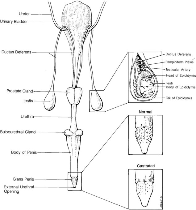 Male Reproduction | Veterian Key