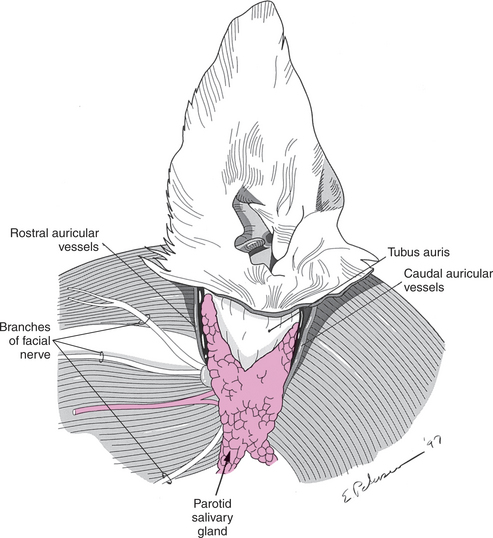 Canine ear anatomy