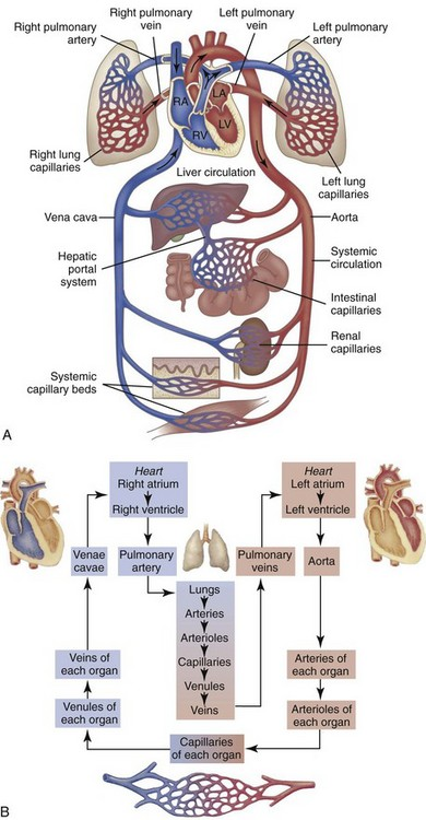 B9780323075336000103_on010-001-9780323075336 Schematic Diagram Of Blood Flow on through heart box, circulatory system heart, heart valves, human body, through heart lungs, through sheep heart, deoxygenated oxygenated,