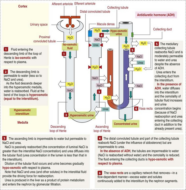 The urinary system veterian key 11 10 schematic diagram of the counter current multiplier and exchanger from kierszenbaum al histology and cell biology an introduction to pathology ccuart Images