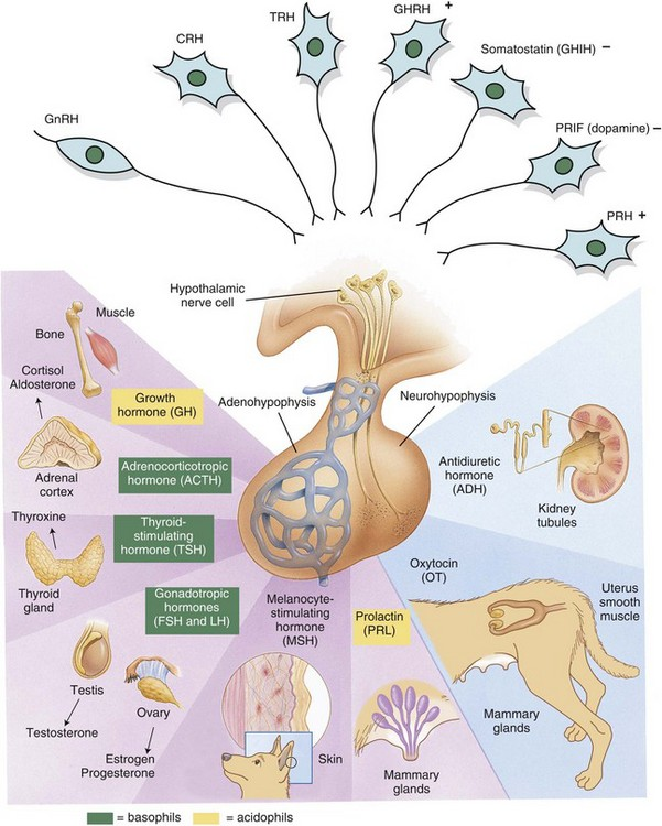 Endocrine system veterian key 12 3 hypothalamic pituitary target gland axisleasing hormones produced by the hypothalamus act on anterior or posterior portions of the pituitary gland ccuart Gallery