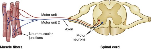 15-8 Schematic diagram of motor units of a muscle.Each motor unit consists of a motor neuron within the central nervous system and all the myofibers (muscle ...