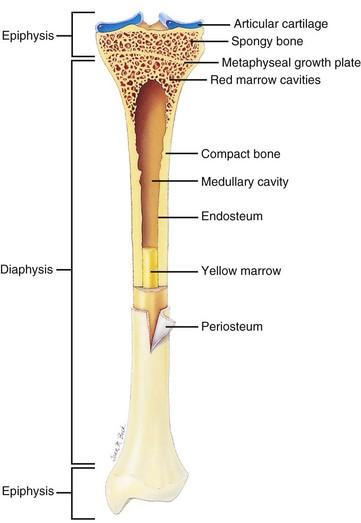 Proximal Epiphysis Long Bone Diagram - List of Wiring Diagrams