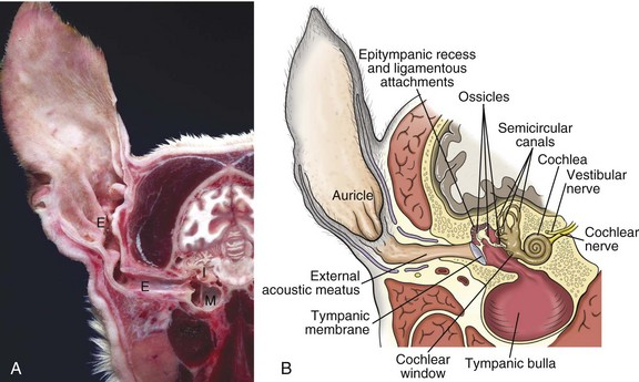 The ear and eye veterian key 20 1 major regions of the eara cross section head through the right ear rostral surface dog external e middle m and inner i ear are ccuart Image collections