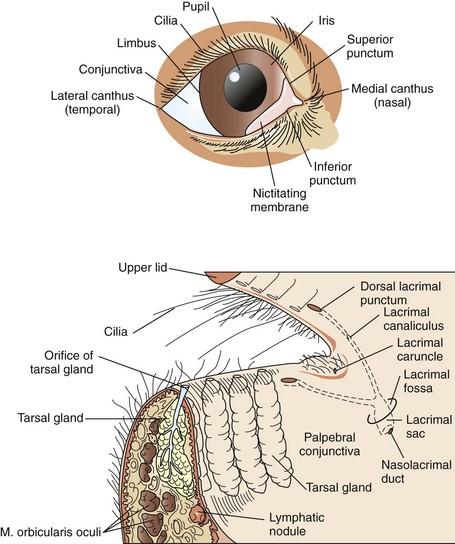 Surgery Of The Eye Veterian Key