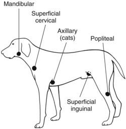 popliteal lymph nodes dog