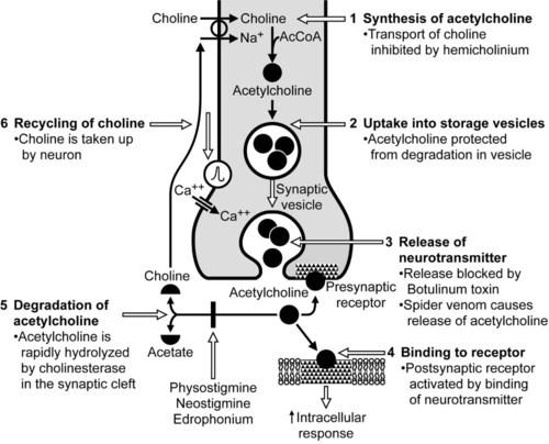 Neuromuscular Blocking Drugs | Veterian Key