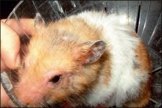 Lymphoma in a hamster | Veterian Key