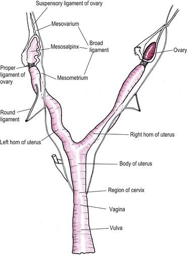 Female Genital Tract Veterian Key
