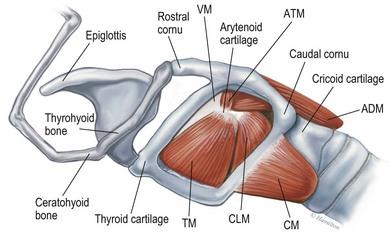 Larynx Veterian Key