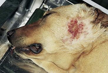 how to help dog dermatitis