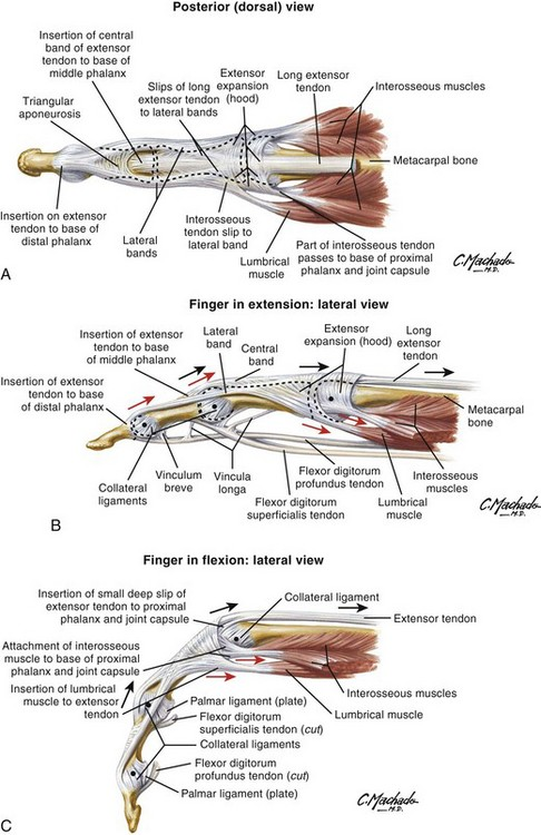 Extensor And Flexor Tendon Injuries In The Hand Wrist And Foot