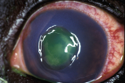 Surgical procedures for the conjunctiva and the nictitating membrane