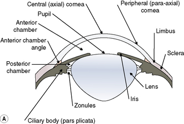 Surgery of the cornea and sclera veterian key 81 the surgical and microanatomy of the dog and cat cornea a the anatomic relationships of the cornea to the other tissues in the anterior segment of ccuart Image collections