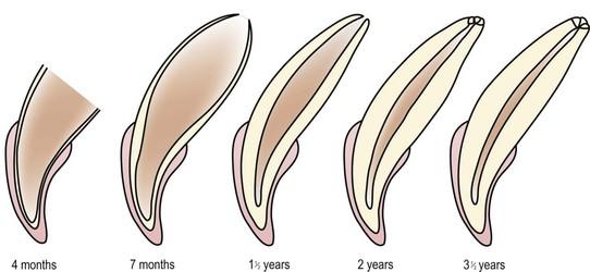 Anatomy Of The Teeth And Periodontium Veterian Key