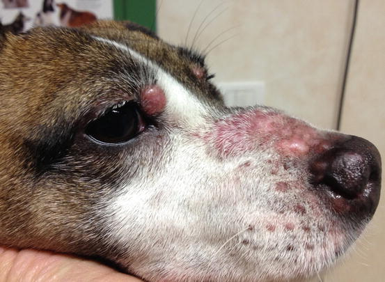canine-lick-sore-granuloma-from-injury-big-chubby-fat